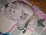 máme nová miminka:Yorik, Yorica, Yasmain, Yurri. Yurri je poslední volný kocourek, vhodný na výstavy a k chovu :O))