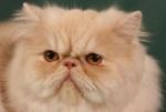 Náhled alba: Champion Cassiopeia de Luxe Chiguita Cat*CZ