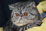 z Buchtíka Quentíka vyrostl překrásný macatý PAN kocour - výstavní přeborník